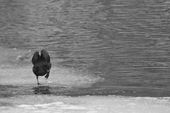 Upp på isen (tusenord) Tags: fåglar fotosondag sothöna is fulicaatra fotosöndag svartvitt monochrome birds negativyta negativespace fs190127