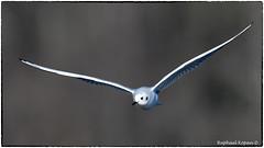 Bonaparte's gull (RKop) Tags: nikon raphaelkopanphotography 600mmf4evr 14tciii eastforklake