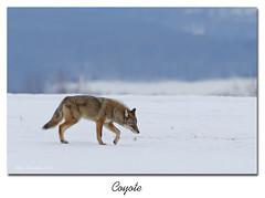 Coyote / Coyte  153A7468 (salmo52) Tags: faune coyote animal canidés alaincharette salmo52 canislatrans princeville