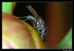 Delia platura (cquintin) Tags: arthropoda diptera anthomyiidae delia platura