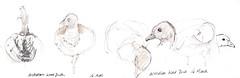 16mar2019 Australian Wood Duck (alissa duke) Tags: fitzroygardens