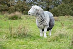 Liebes Schaf (MadCyborg) Tags: fuji fujifilm xt20 schaf sheep