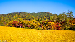 Autumn colours near Hahoe village (South Korea) (patuffel) Tags: hahoe village south korea foliage autumn colour colors colours field yellow leaf leafes maple red forest mountain tree trees leica 28mm m10 summicron 2018 rice paddy paddies