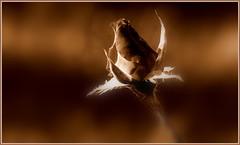 Róża. (andrzejskałuba) Tags: poland polska pieszyce dolnyśląsk silesia sudety europe plant panasonicdmcfz200 lumix roślina kwiat flower rose róża sepia beautiful brown brązowy delicate macro natura nature natural natureshot natureworld garden ogród flora floral art 100v10f 1000v40f 1500v60f