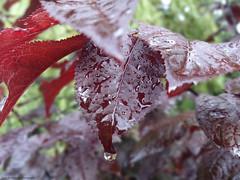 Teardrops (Daria Kucharczyk) Tags: nature seasonal closeup canon colors contrast spring vibrant rain raindrops raindrop rainy weather bokeh macro green foliage forest leaves leaf