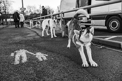 An unexpected meeting in Gothenburg. Competition sled hounds on their way home from training in Idre, Sweden.  Next stop a race in Czech Republic. (Maffe) Tags: maffe sony rx1rii mono bw gothenburg dog street sledhounds