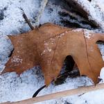 One oak leaf - Une feuille de chêne thumbnail