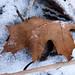 One oak leaf - Une feuille de chêne