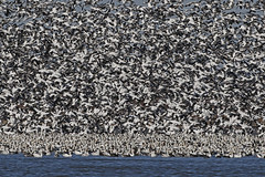 Blizzard (tomblandford) Tags: snowgeese snowgoosemigration loessbluffsnationalwildliferefuge squawcreeknationalwildliferefuge 13milliongeese snowstorm blizzard nature conservation protecttheenvironment protectpubliclands protectwildlife
