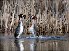 Great Crested Grebe (hisdream) Tags: greatcrestedgrebe lake dancing presenting mating net