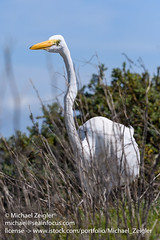Great Egret (Michael Zeigler) Tags: bird california usa bolsachicaecologicalreserve greategret huntingtonbeach northamerica casmerodiusalbus sea