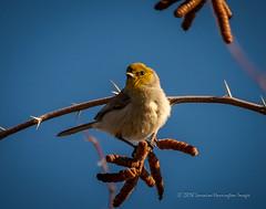 Pods Under Verdin (playful_i) Tags: gwr gilbertriparian riparian verdin birds branch limb nature perch pods thorns tree wildlife