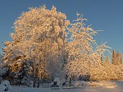 cold January (-25) (grynetvalp) Tags: 25 cold january lappland natureinfocusgroup