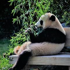 ✪ ベンチにお座りしてお食事中のパンダ -アドベンチャーワールド- (haguronogoinkyo) Tags: nikon d610 japan 和歌山 白浜 アドベンチャーワールド パンダ 笹 お座り panda adventure world zoo 動物園