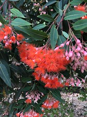 Flowering gum (birdsey7) Tags: 2019pad flowers trees red
