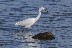Arne 27-02-2015 20 (Matt_Rayner) Tags: arne bird littleegret shipstalbeach