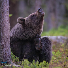 So itchy! (GunnarImages (Gunnar Haug)) Tags: mother lick itchy finland trunk nordic brown brownbear power wildlife tree forest cute green mammal blueberry nose branch