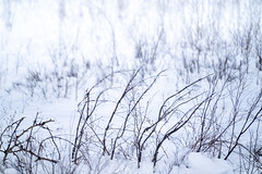 Dead winter grasses, twigs and bushes in the snow, useful for backgrounds and textures (m01229) Tags: vermillionlakes winter bushes icy deadgrass reeds background icecovered snow pond trees twigs parkway banffnationalpark banff alberta winterscene bowriver rocks grasses canada bowvalley frozen cold ice