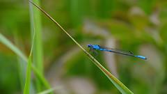 Garden 2 (myview11) Tags: myview11 nikon v1 nature dragonfly damselfly