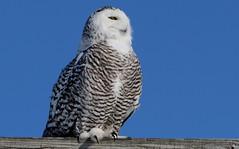 Snowy Owl (Bill G Moore) Tags: naturephotography snowyowl birdofprey billmoore wild wildlife raptor sky blue canon illinois winter owl