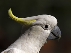 Sulphur-crested Cockatoo (Mark Leary) Tags: bird sulphurcrestedcockatoo ouryard