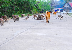 ,, The Gauntlet ,, (Jon in Thailand) Tags: dog dogs k9 k9s primates apes monkeys red yellow blue teal jungle themonkeytemple nikon d300 nikkor 175528 rocky mama thezoomer babymickeypuppy puppy dogtails thegauntlet tails monkeytails monkeyfaces wildlife puppydogtails rescueddogs jungledogs abandonedabuseddogs littledoglaughedstories