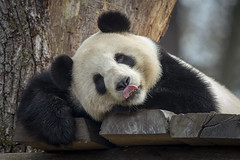 Sanftmütige Panda Weibchen Meng Meng (DeanB Photography) Tags: 1dx 2019 animals berlin canon deanb tier tiere tierpark tierwelt zoo animal panda tierfotograf china bambus bär pandabär baer