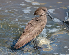 Hamerkop (Mark Vukovich) Tags: hamerkop tarangire national park tanzania bird