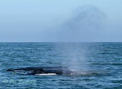 IMG_8797 (b_bev) Tags: montereybay monterey bay california usa wildlife sealife whales dolphins pelicans seals birdlife nature ocean sea