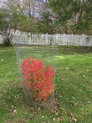 November colors (creed_400) Tags: november fall autumn belmont west michigan burning bush red leaves colors fence white
