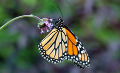 Monarch melody (Ste.Baz) Tags: mariposa butterfly papillon monarch macro flower