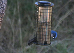Woodhouse's Scrub Jay (austexican718) Tags: backyard bird centraltexas native fauna wildlife nature animal blue birdfeeder