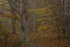 Autumn love (katrin glaesmann) Tags: timmendorferstrand ostsee schleswigholstein balticsea bayoflübeck lübeckerbucht sleswickholsatia derechtenorden therealnorth brodtenerufer brodtenersteilufer fog nebel wald woods trees autumn