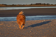 Jessie in the late afternoon sunshine (Beth at The Hug) Tags: jessie dog bordercollie goldenretriever beach sea sand