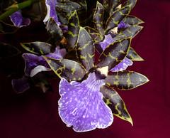 Zygopetalum maculatum species orchid (explore: high was 94 on 12-15-18) (nolehace) Tags: zygopetalum maculatum species orchid 1118 fragrant fz1000 sanfrancisco flower bloom plant nolehace fall