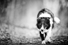 """""""Just stroll'in along minding my own business"""" (JJFET) Tags: border collie dog paddy"""