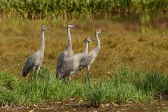 Sandhill Crane Family (BirdFancier01) Tags: sandhillcranes cranes birds nature wildlife birdphotography