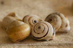 All that remains (ILO DESIGNS) Tags: snail shell stilllife naturallight indoor studio texturing fineart fotografíadeautor bodegón conchas caracoles closeup macro macrofotografía 2019 january color d3300 sigma15028