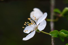 Prune      Hermagis Paris Anastigmat  Major  1:4.5  F 105m/m (情事針寸II) Tags: ngc 季 マクロ撮影 自然 花 white oldlens macro bokeh nature fleur flower triplet hermagisparisanastigmatmajor145f105mm