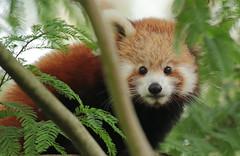 red panda Blijdorp 094A0389 (j.a.kok) Tags: panda redpanda rodepanda kleinepanda animal asia azie china mammal zoogdier dier blijdorp babypanda blijdorpzoo