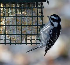 Female downy woodpecker (carpingdiem) Tags: downywoodpecker birds winter 2019 indianapolis feeder