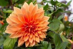 Flora (videofotoeventi) Tags: fiori flower natura nature flora lavanda