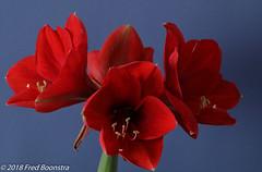 "In our livingroom, ""Amaryllis"" (Fred / Canon 70D) Tags: canon canon70d canoneos flower closeup macro eefde amaryllis jinbeidiffusionjumboumbrella jinbeiwhiteumbrella jinbei falconeyesskk2150d falconeyes ef100mmf28lmacroisusm"