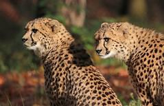 cheetah Burgerszoo 094A0460 (j.a.kok) Tags: cheetah jachtluipaard animal cat kat predator acinonyxjubatus acinonyxjubates mammal zoogdier dier africa afrika burgerszoo burgerzoo