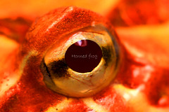 Horned frog (peakhora) Tags: frogs horned frog