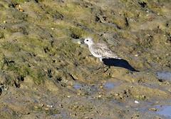 Grey Plover with catch (Wild Chroma) Tags: pluvialis squatarola pluvialissquatarola plover waders birds nonpasserines ludo riaformosa algarve portugal faro