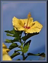 Reach for the sky (WanaM3) Tags: wanam3 sony a77 sonya77 hawaii maui vacation sky yellow flower hibiscus