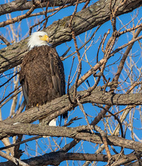 Bald Eagle (Lynn Tweedie) Tags: wood baldeagle beak tail wing canon ngc animal loessbluffsconservationarea blue 7dmarkii missouri bird tree sky winter eos feathers eye sigma150600mmf563dgoshsm