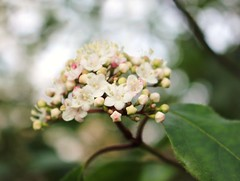Winter bloom (ekaterina alexander) Tags: winter tree evergreen bloom flower flowers viburnum tinus england sussex trees ekaterina alexander nature photography pictures small white blossom