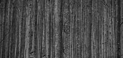 Fagus silvatica, serie (luca.cadez) Tags: boschi faggeta